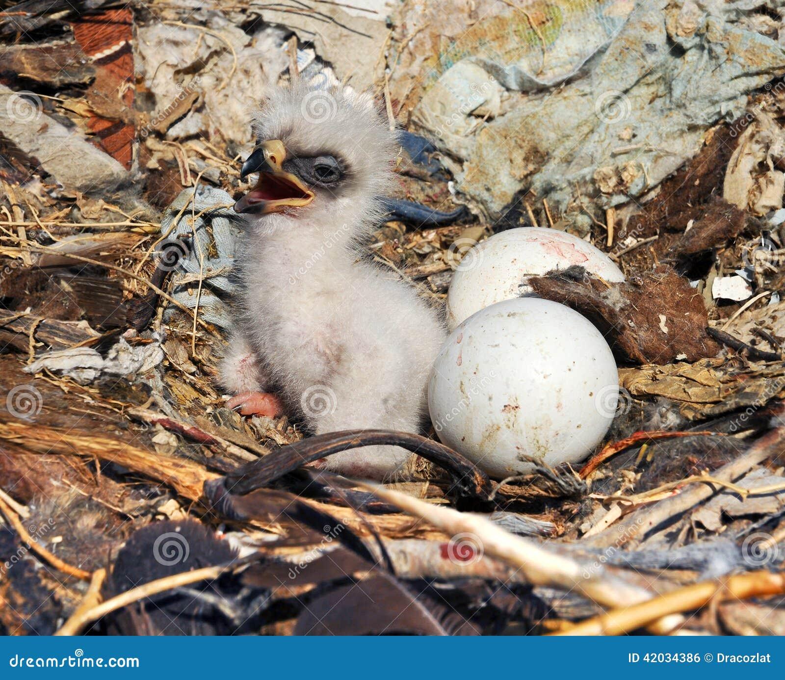 Nipalensis de Aquila da águia do estepe do Nestling