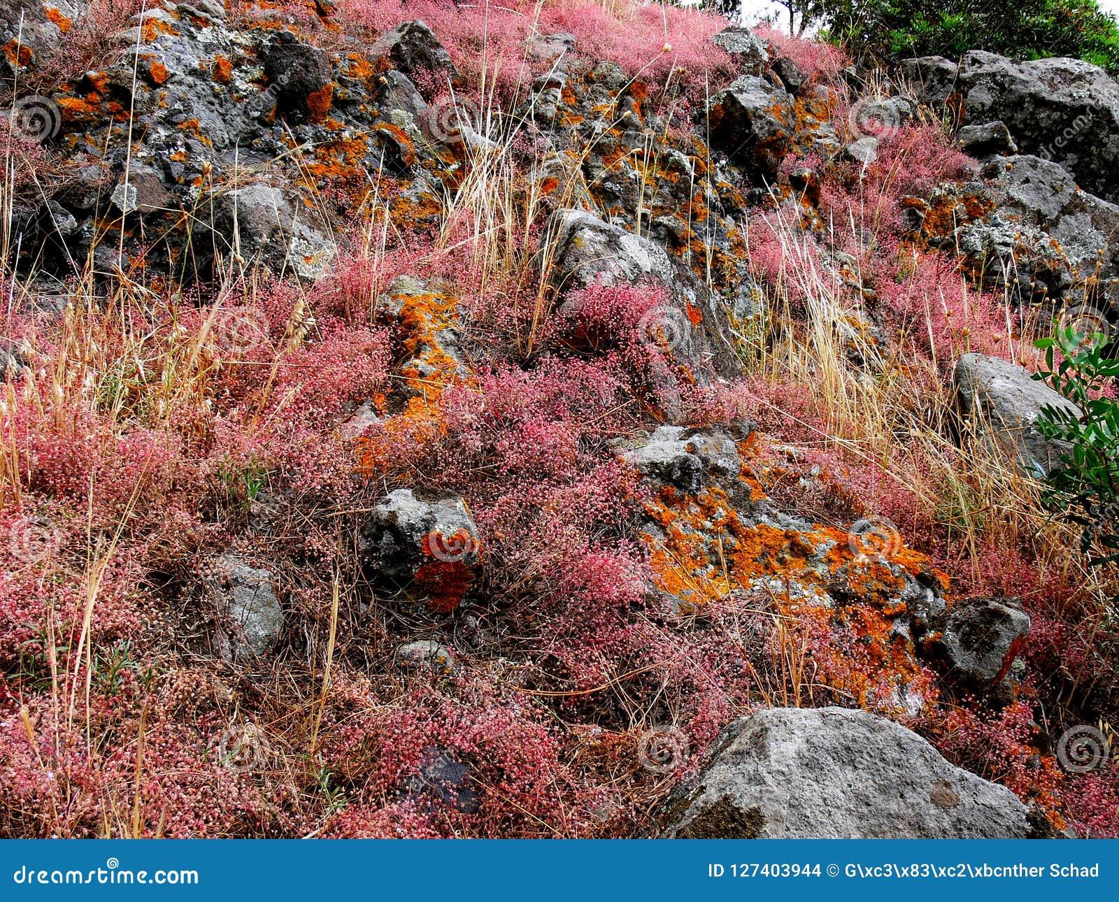 Niskie dorośnięcie rośliny i czerwonawi liszaje na skale