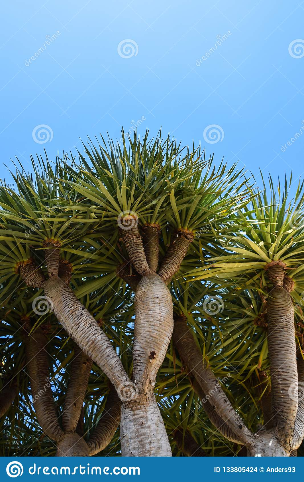 Niskiego kąta widok smoka drzewo, Dragoeiro od Porto Santo, madera także zakłada w przylądku Verde