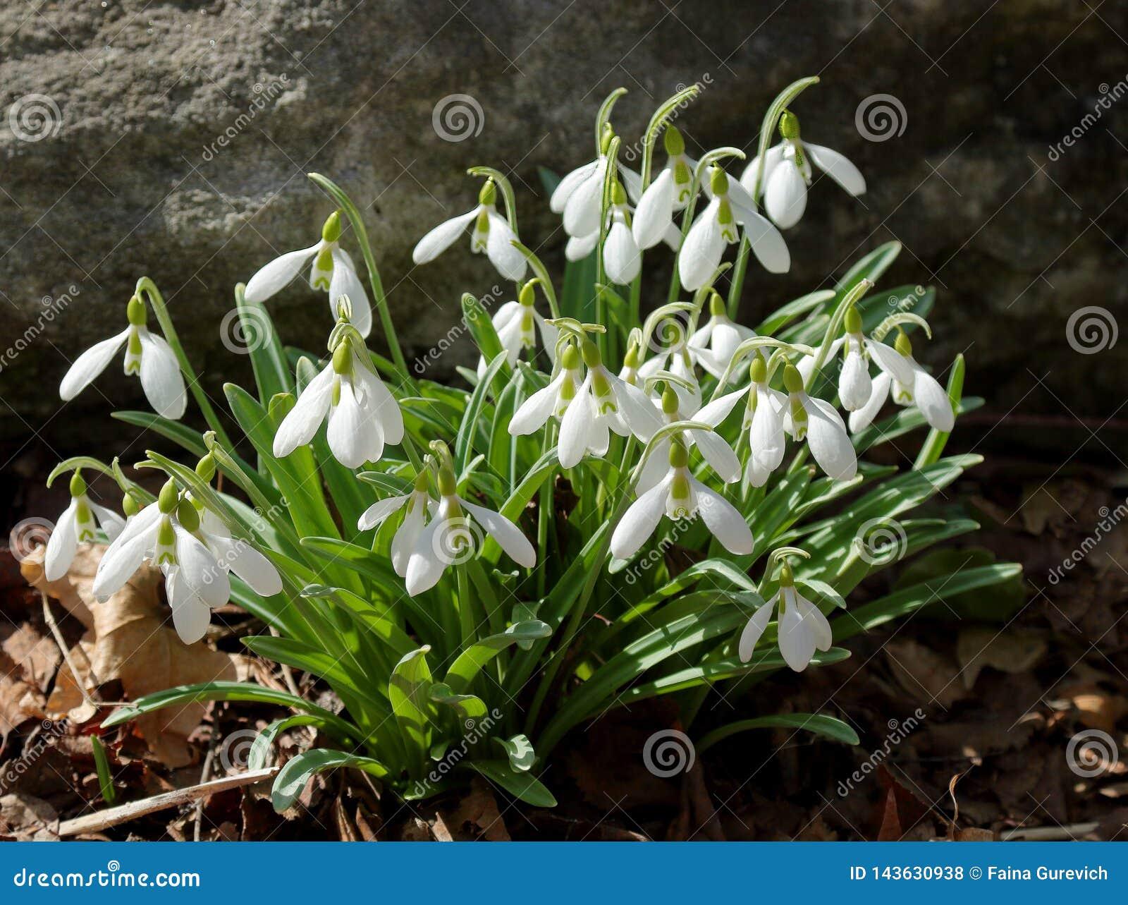 Nivalis communs de Galanthus de perce-neige fleurissant au printemps