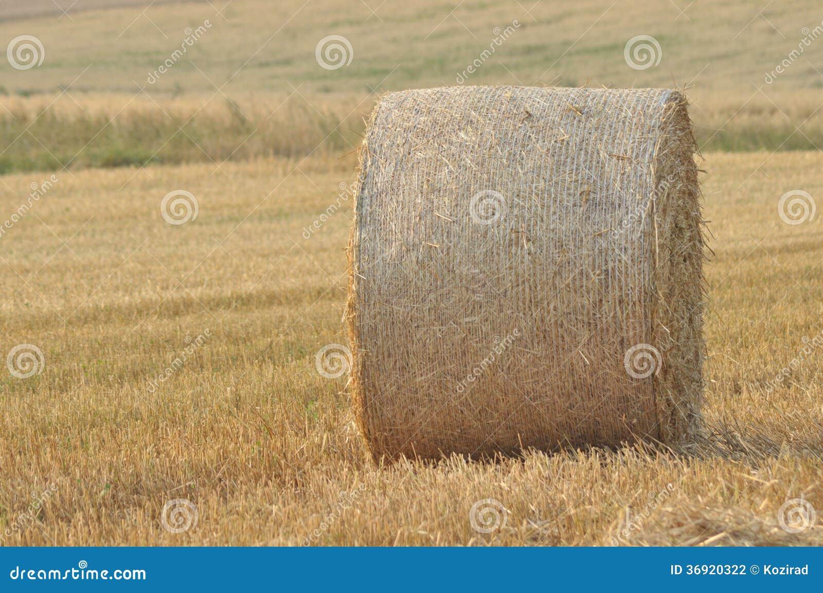 Żniwo w polach. Słoma bele załamywać się.