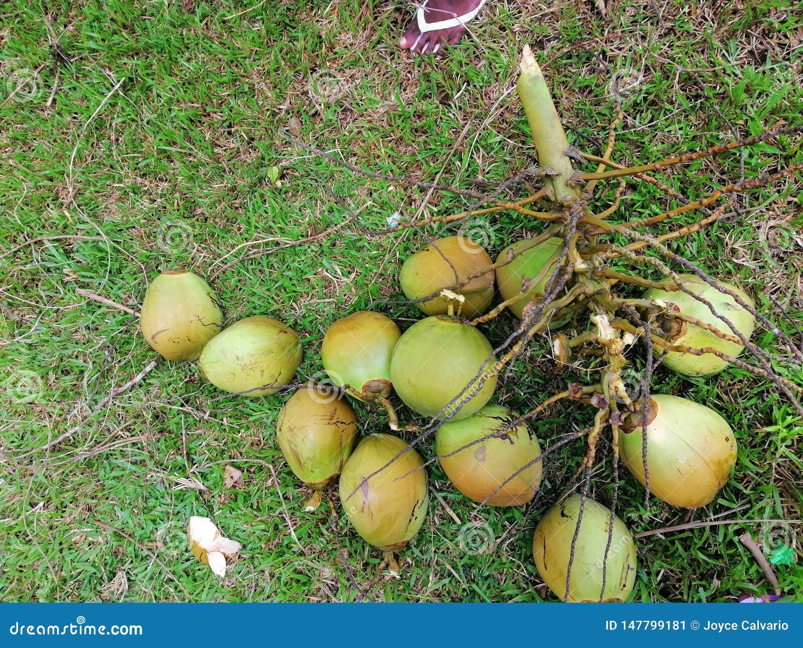 Niyog & x28; Coconut& x29;
