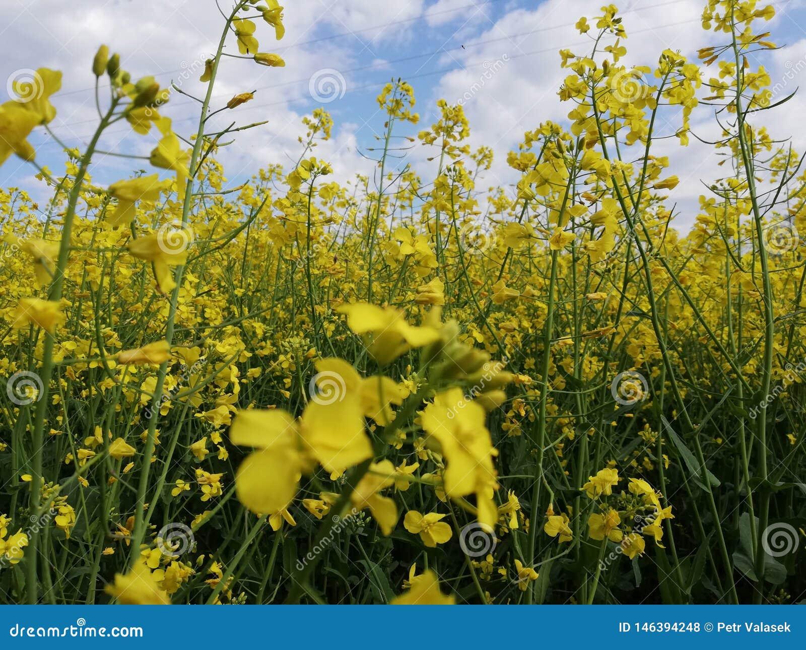 No campo da violação de semente oleaginosa