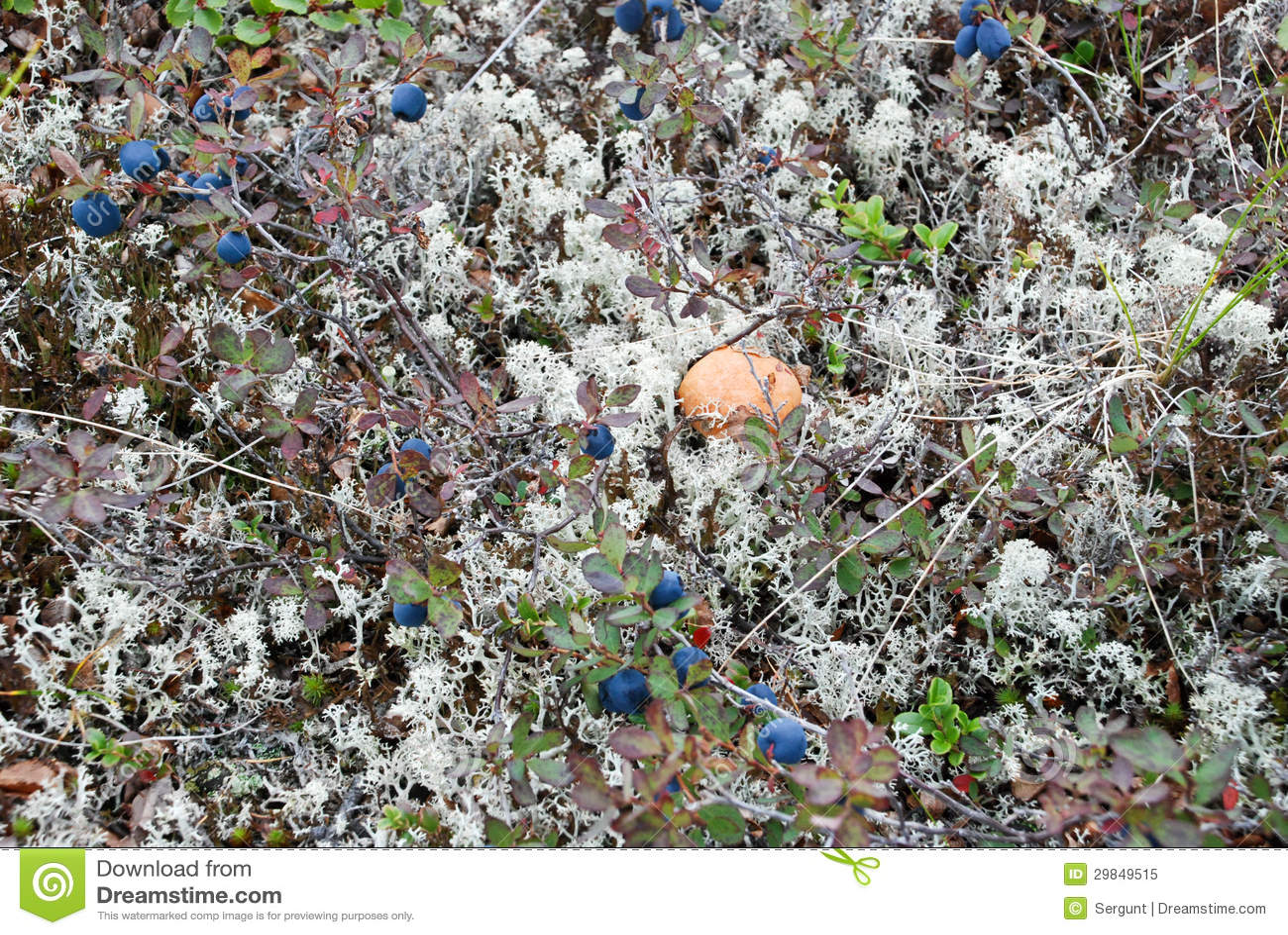 Os cogumelos na tundra.