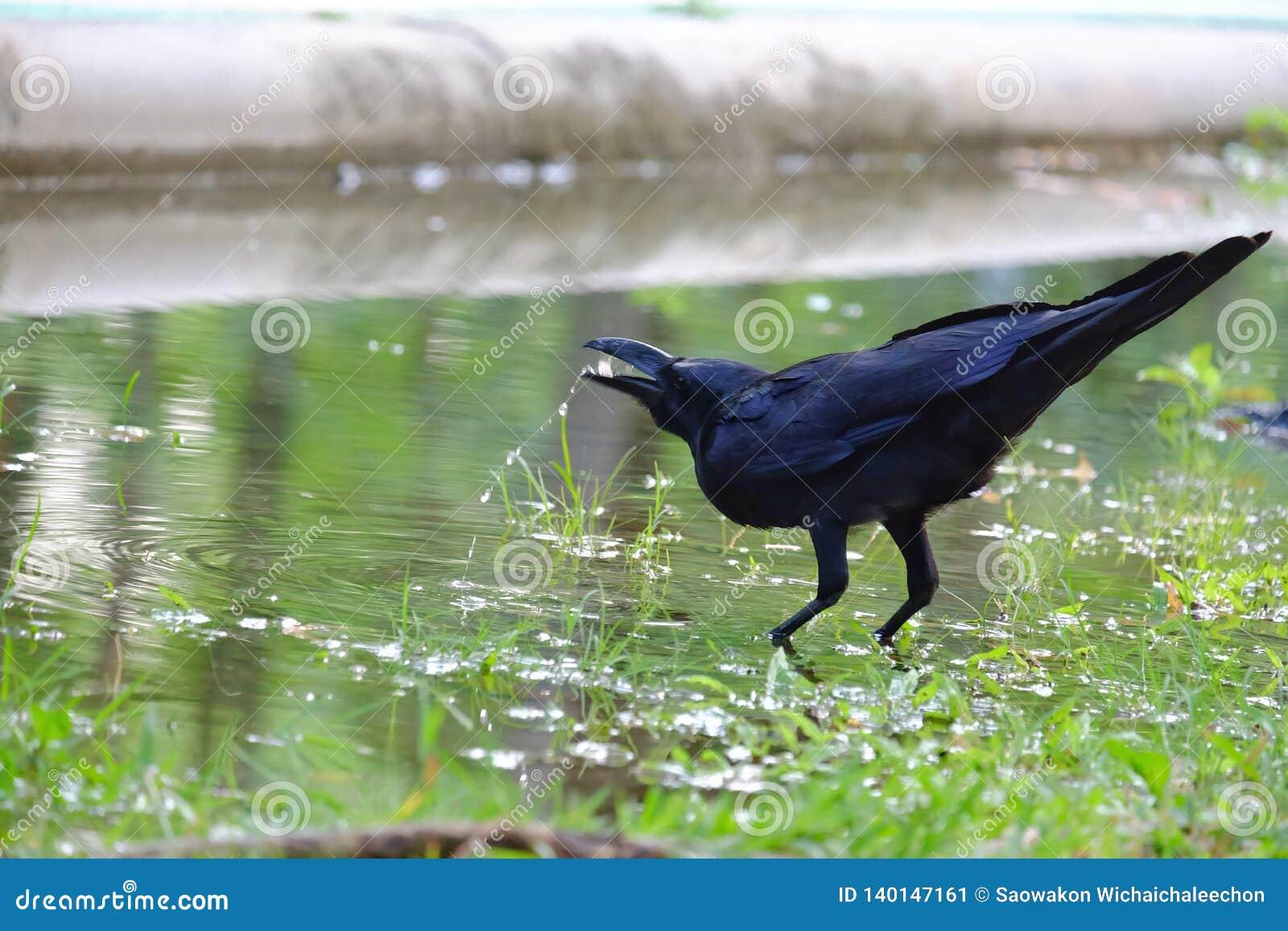 No foco seletivo uma água potável preta do corvo de uma poça