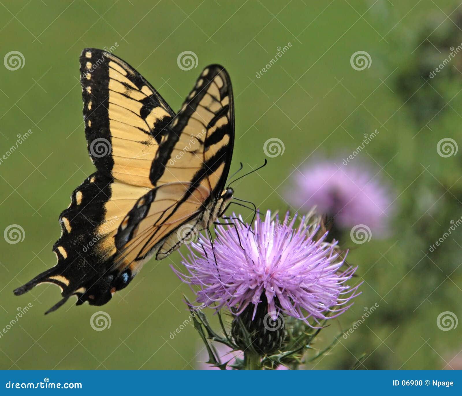 No motyla