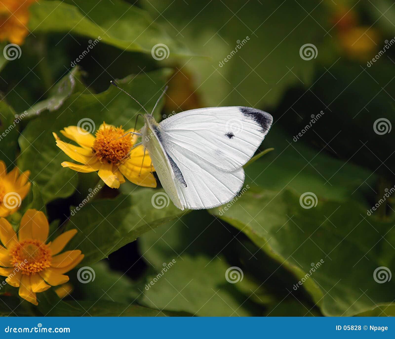 No1 da borboleta