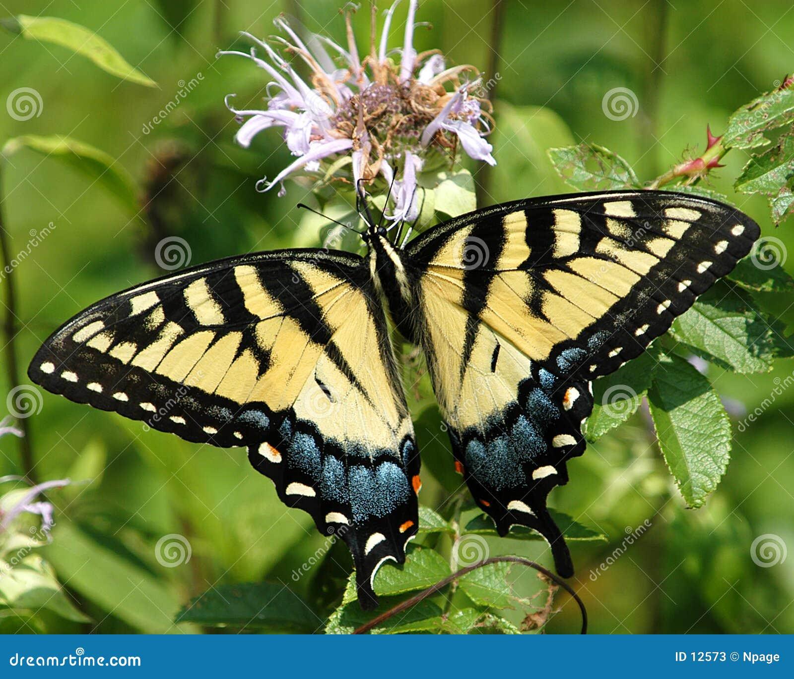 No3 de la mariposa