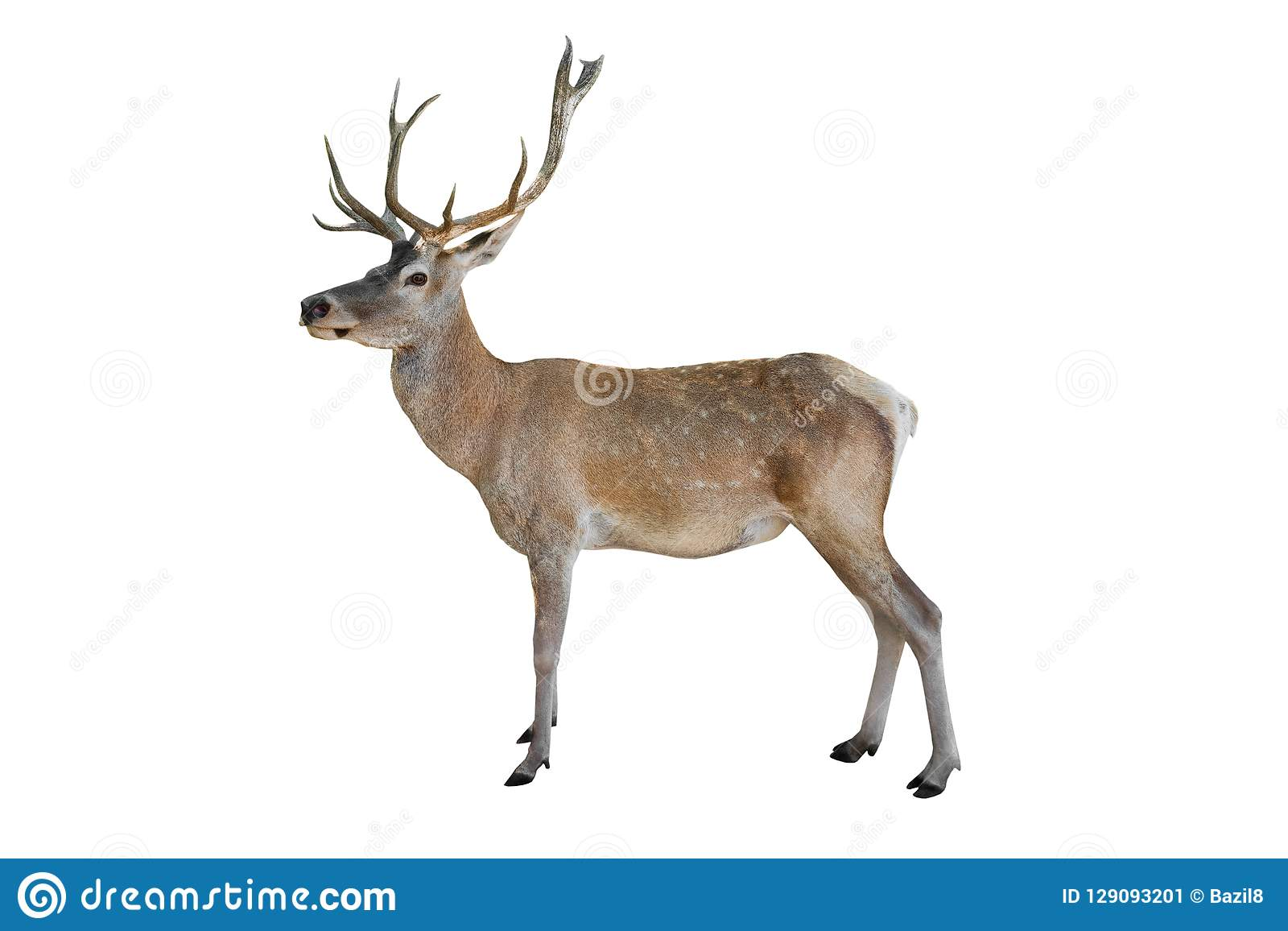 Noble deer isolated