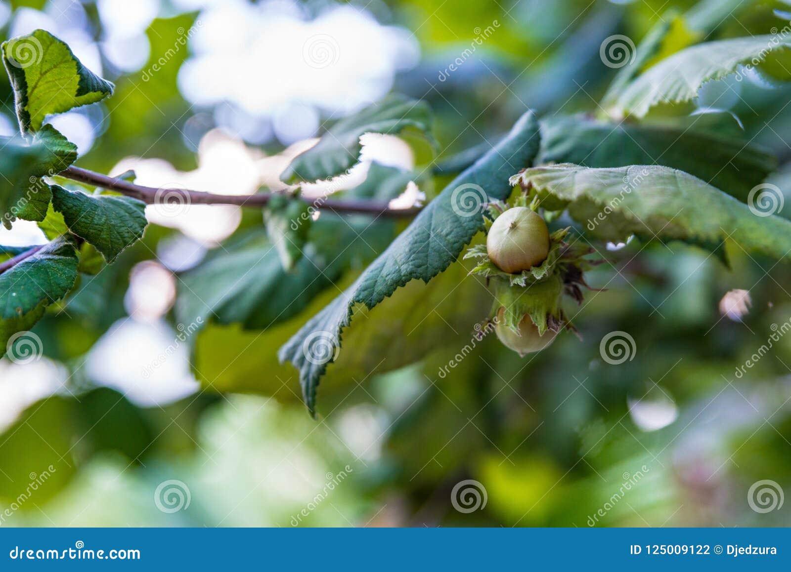 Nocciole sull albero all estate
