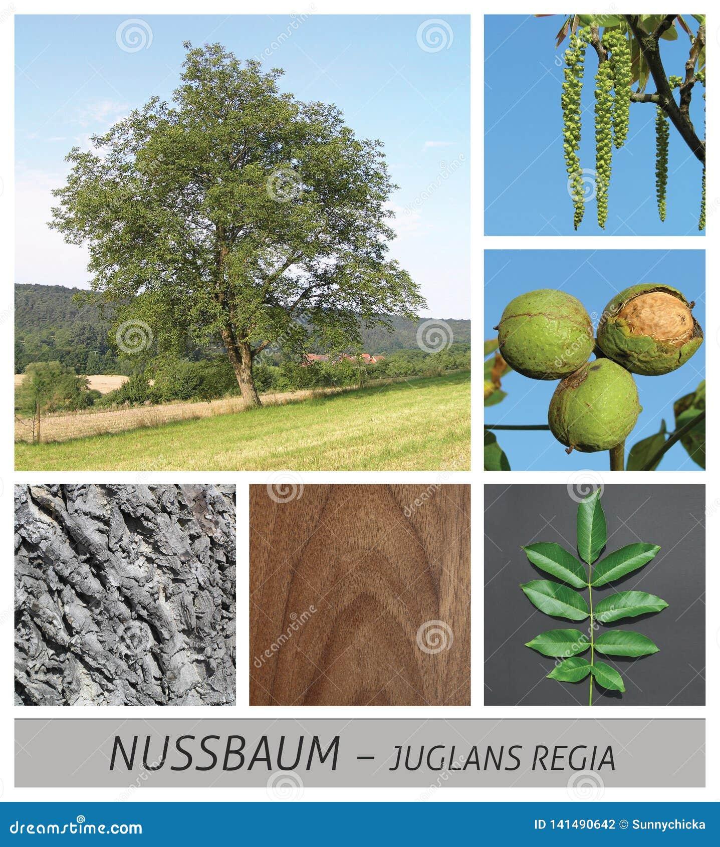 Noce, dado, albero, noci, crescenti, alberi, frutti, frutta, legno, buio, juglans,