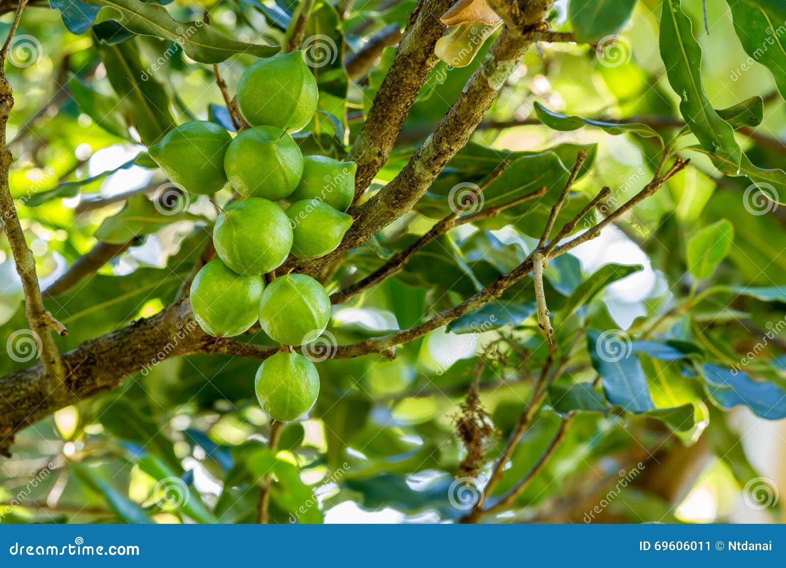 Noci di macadamia sull 39 albero immagine stock immagine for Pianta di noci