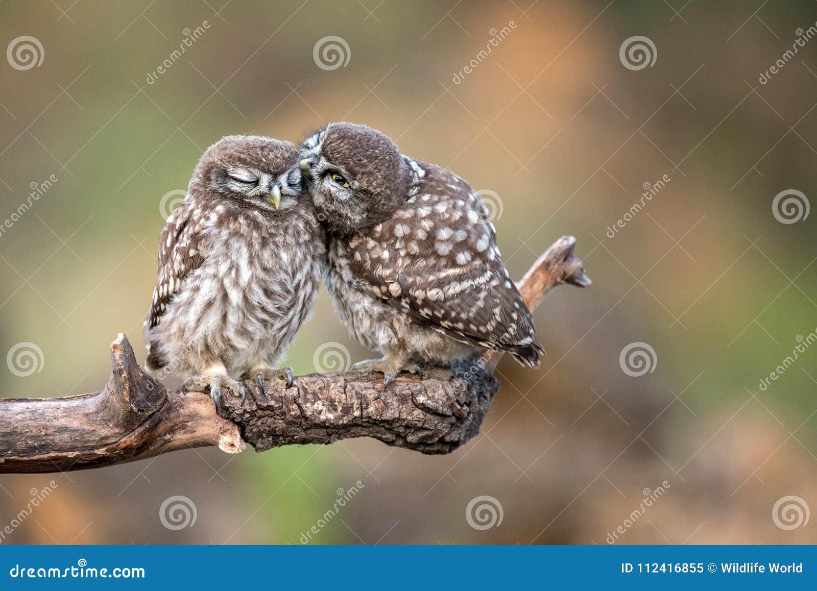 Noctua del Athene de dos pequeños búhos que se sienta en pares en un palillo