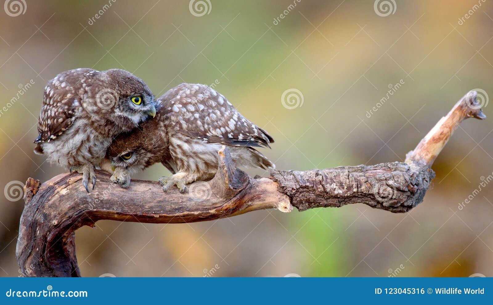 Noctua del Athene de dos pequeños búhos que se sienta en un palillo presionado cara a cara