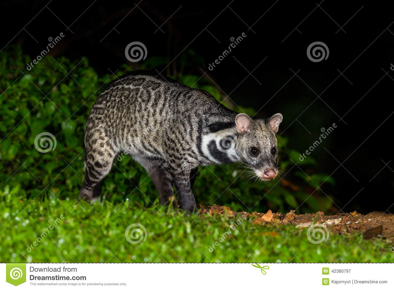 Nocturnal animals Viverra zibetha Viverra zibetha finding some food in ...