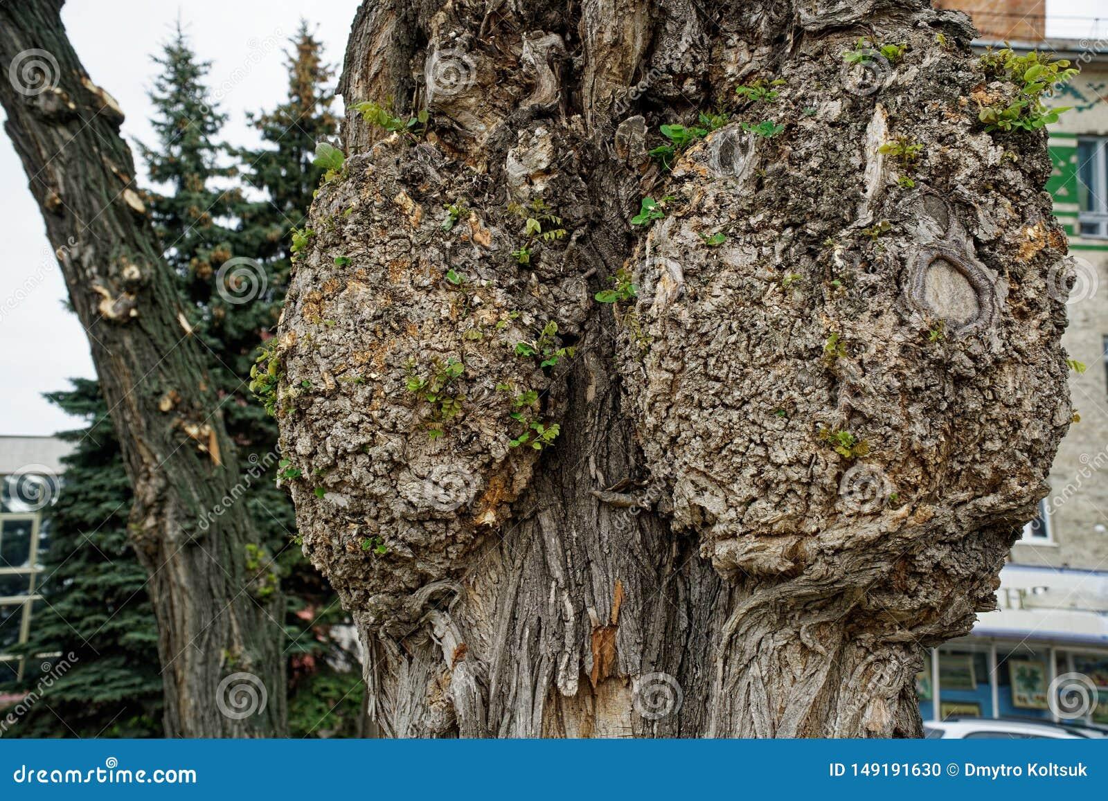 Nodo dell albero, fine unsusual sul nodo sull albero Legno annodato L asino sull albero su fondo vago molle