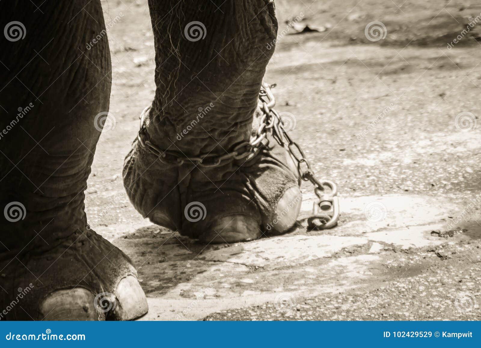 Noga przykuwający słoń i spojrzenie bardzo żałośni