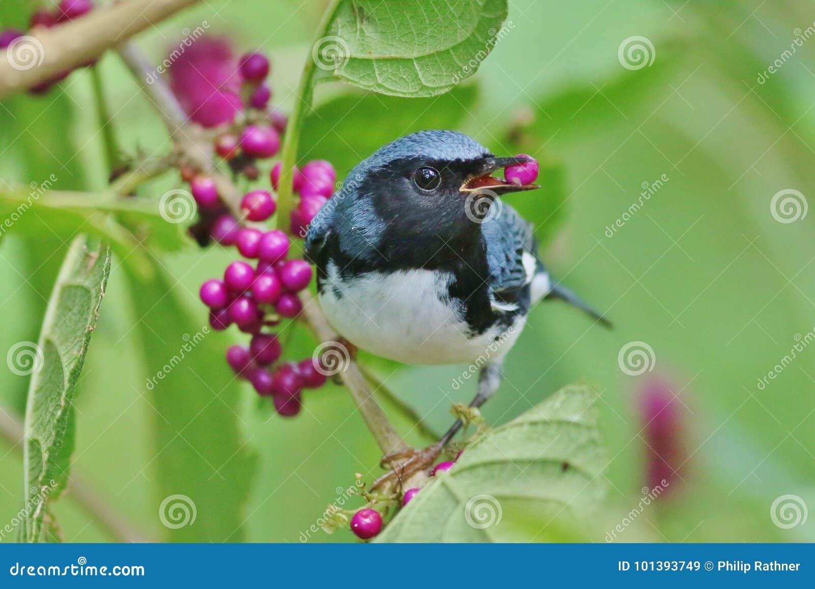 Noir - fauvette bleue throated