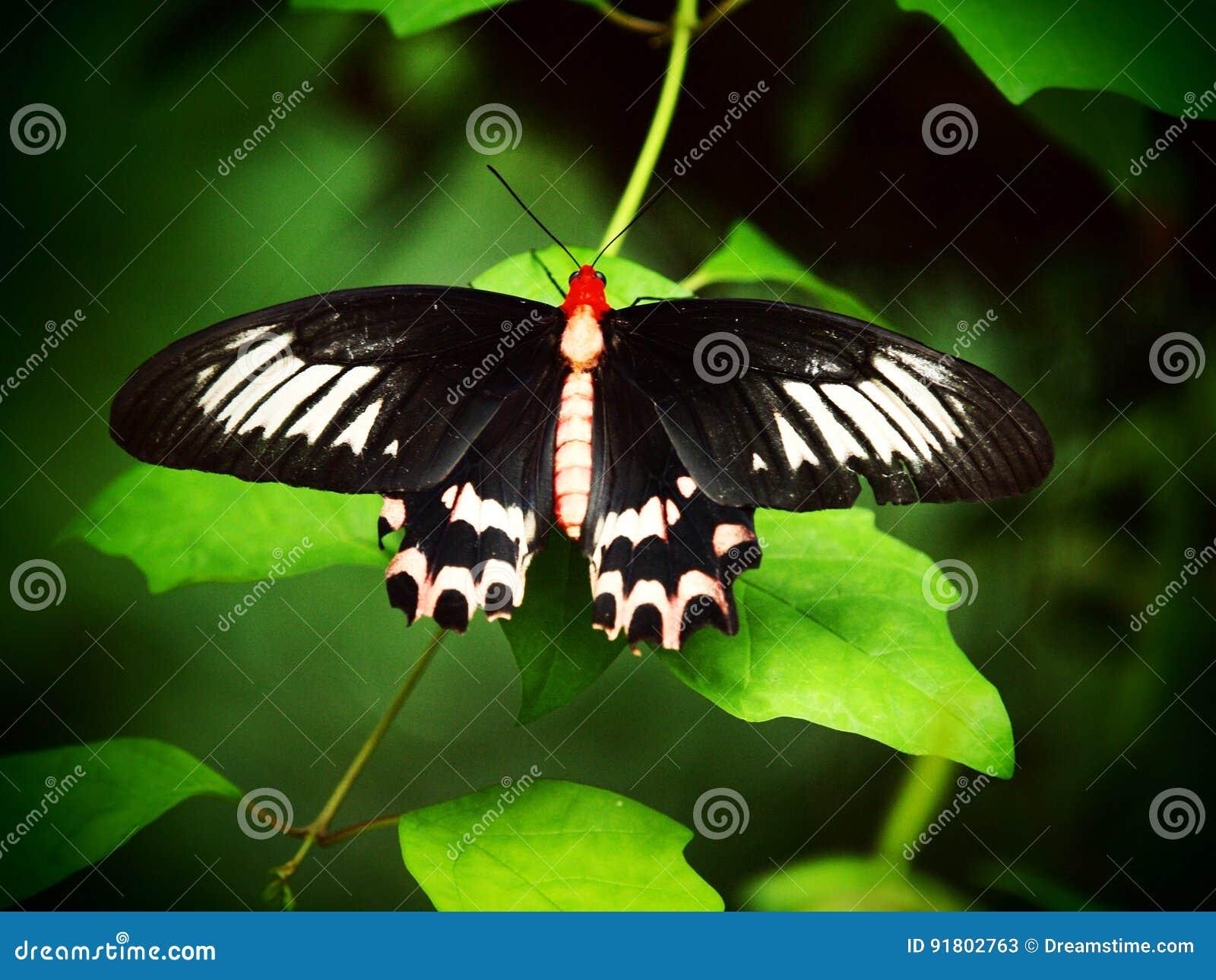 Noir - papillon rouge Macro tropical d insecte Fond animal coloré