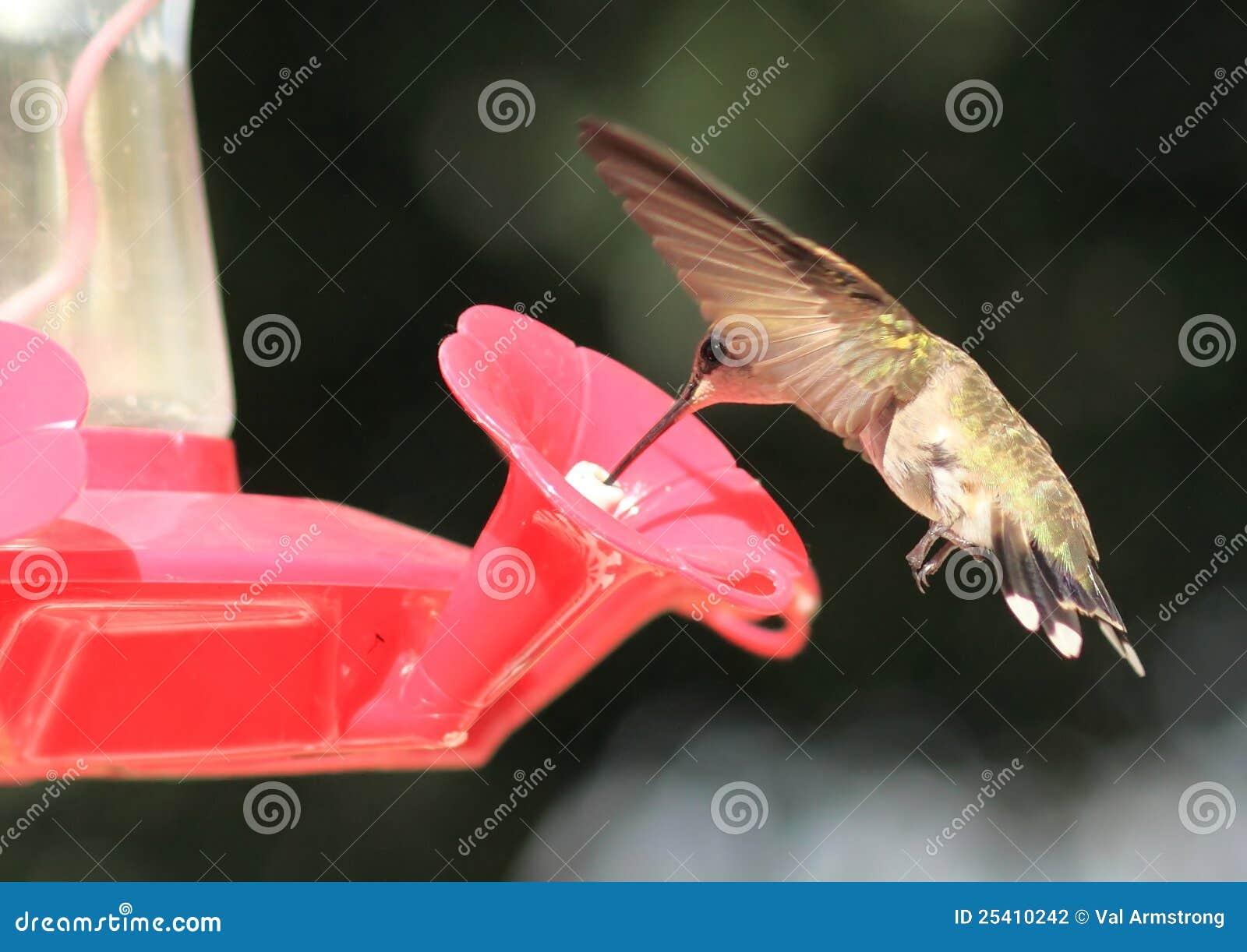 Noircissez alimenter de colibri de Chinned
