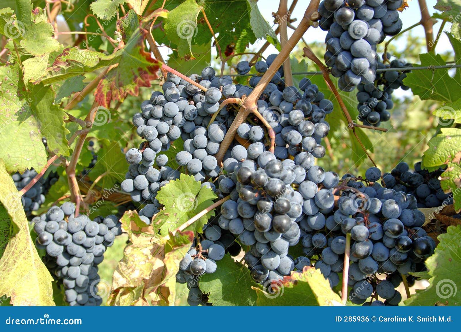 Noirpinot för 3 druvor vinodling