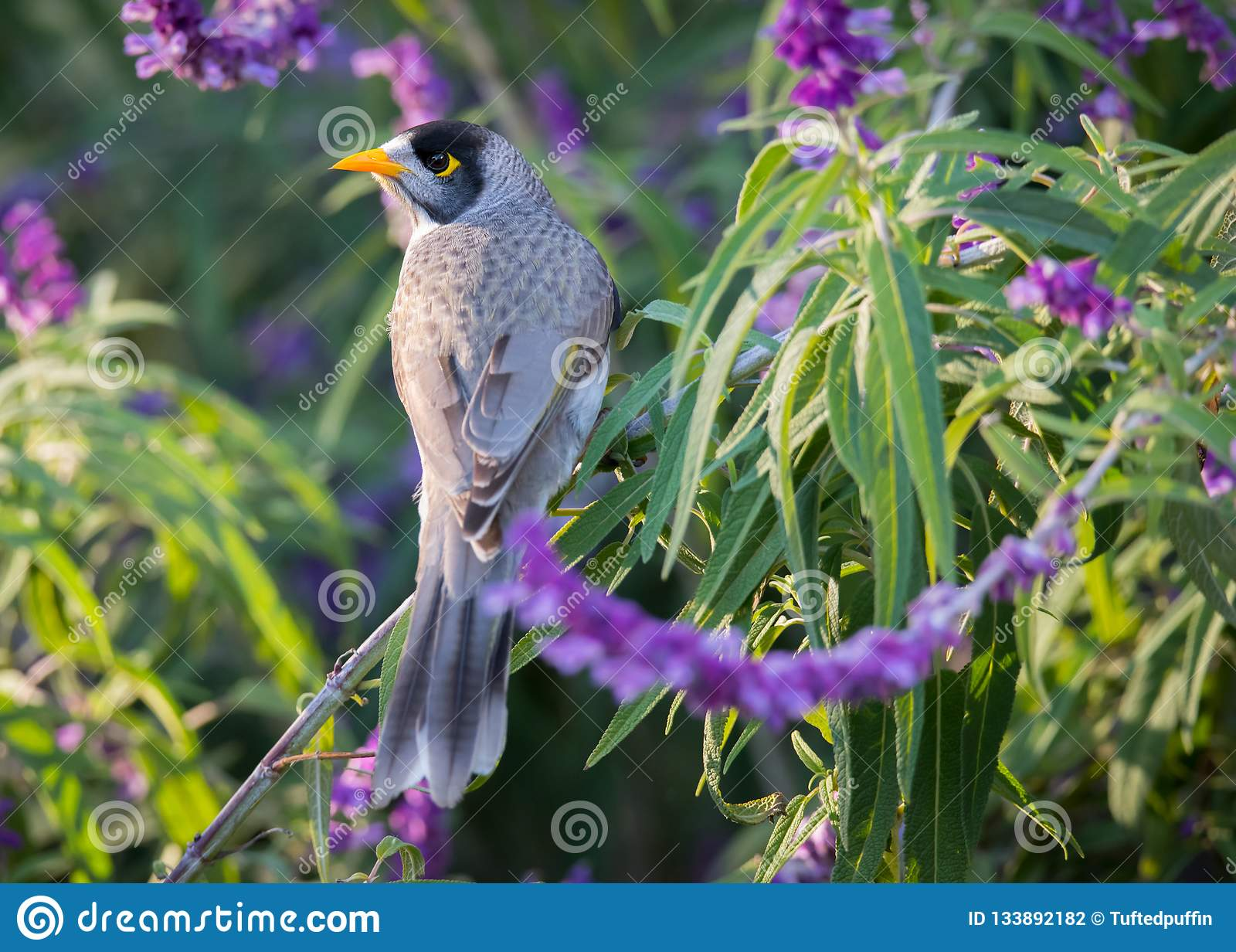 Noisy Miner Perched In Mexican Bush Save