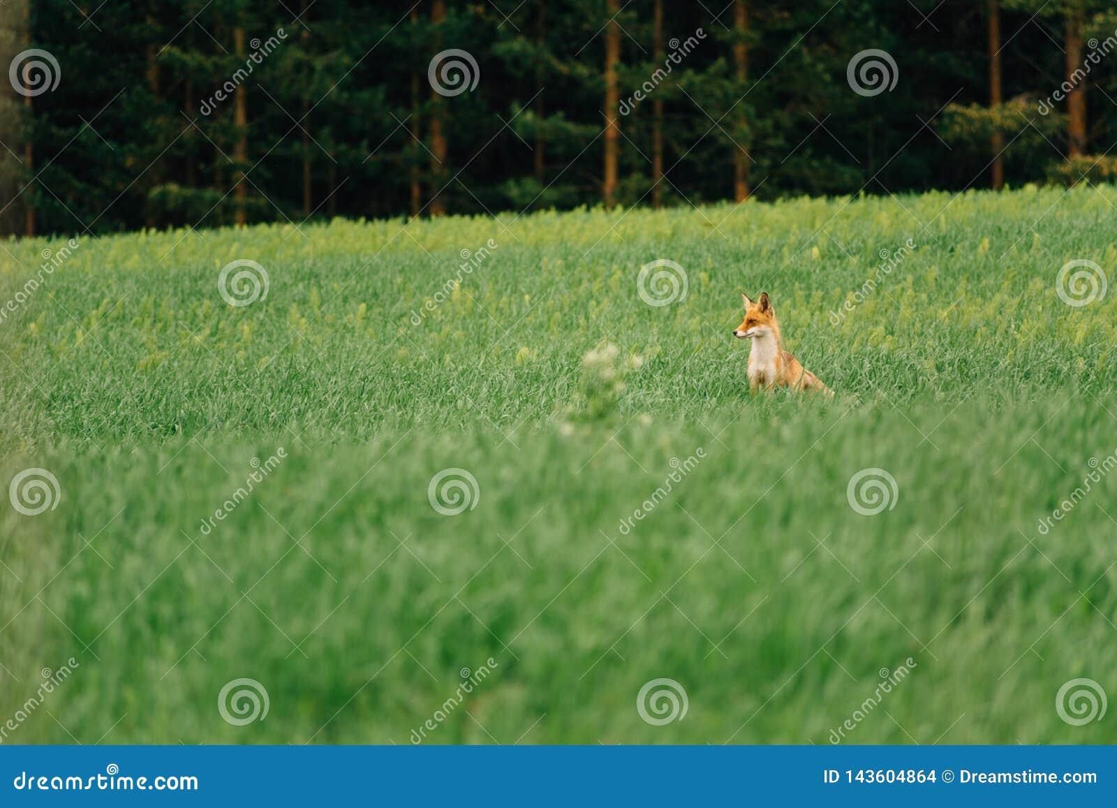 Noite do verão O Fox está no meio do campo e olha afastado charmer