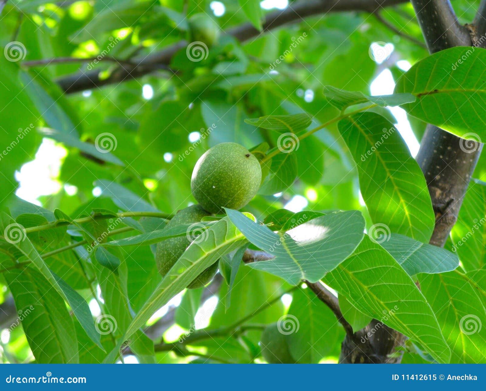 Noix-arbre