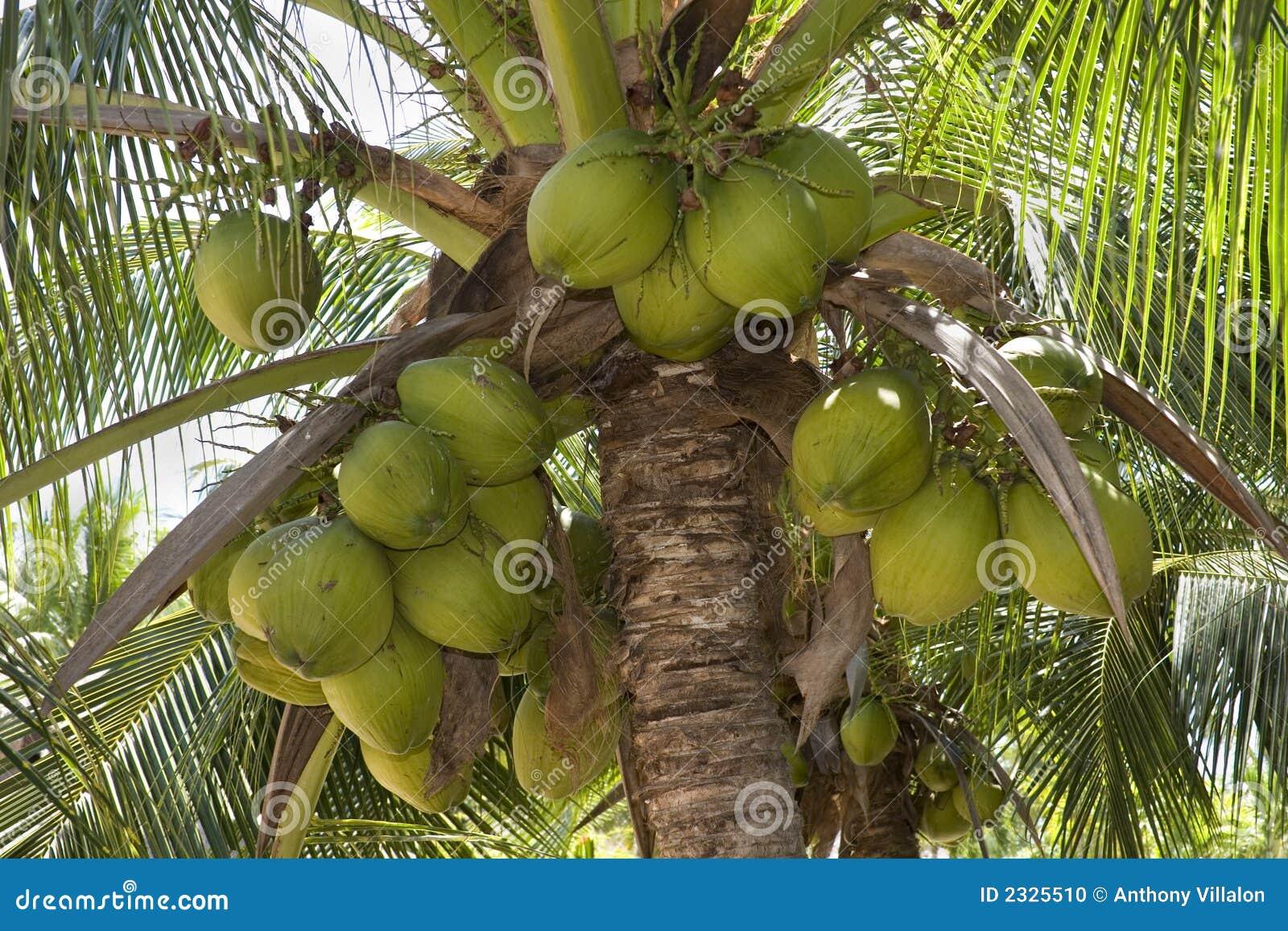 Noix de coco photo stock image 2325510 - Arbre noix de coco ...