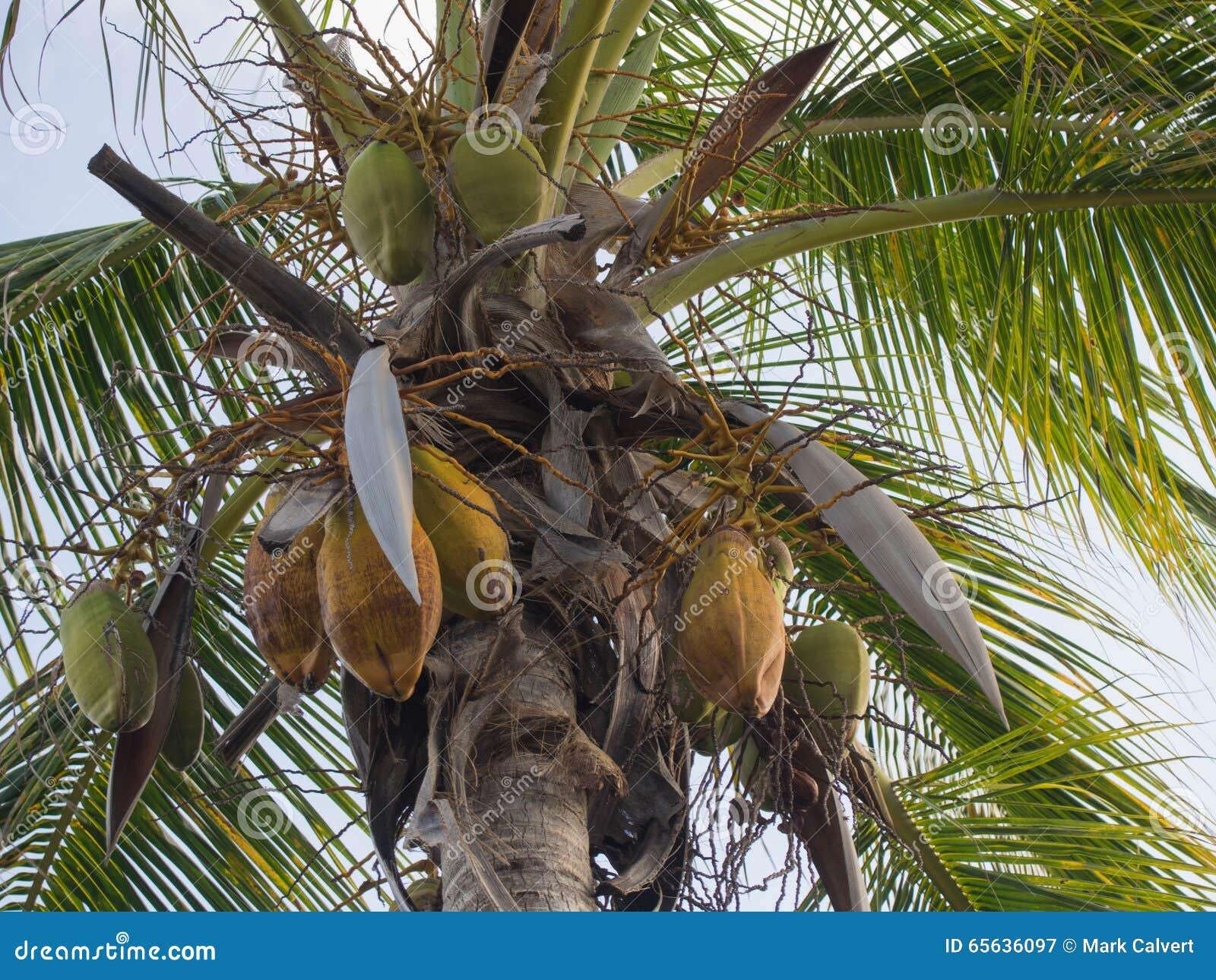 Noix de coco pendant d un palmier