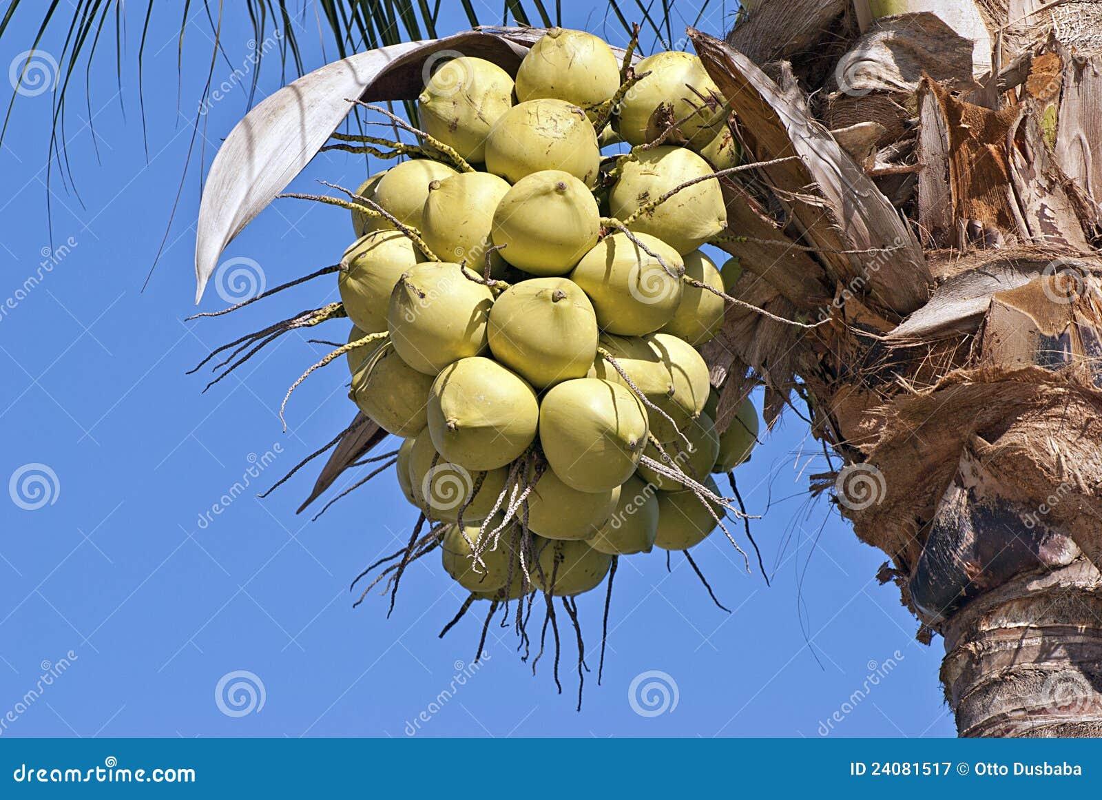 Noix de coco pendant de la paume