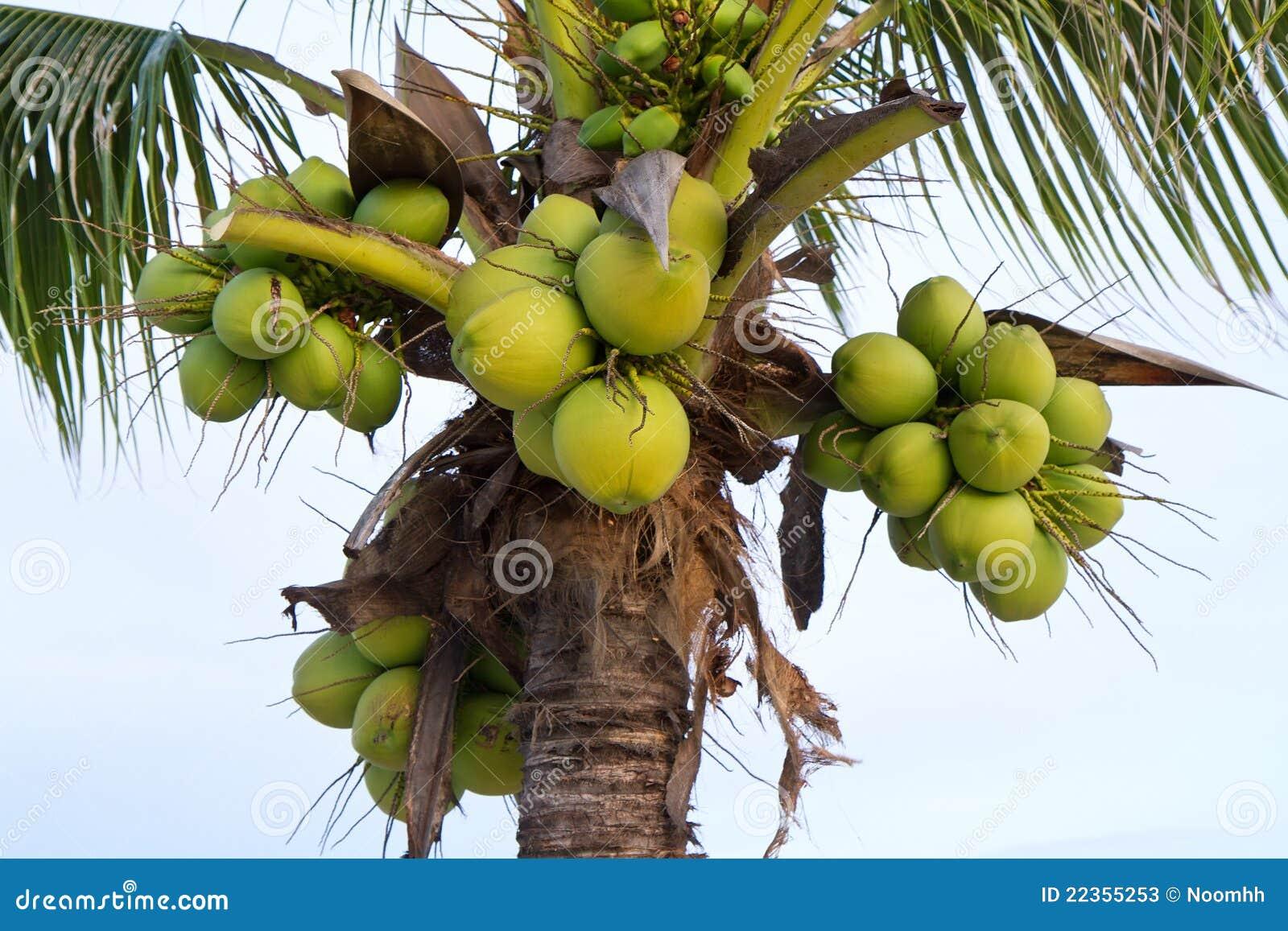 Noix de coco verte l arbre - Arbre noix de coco ...