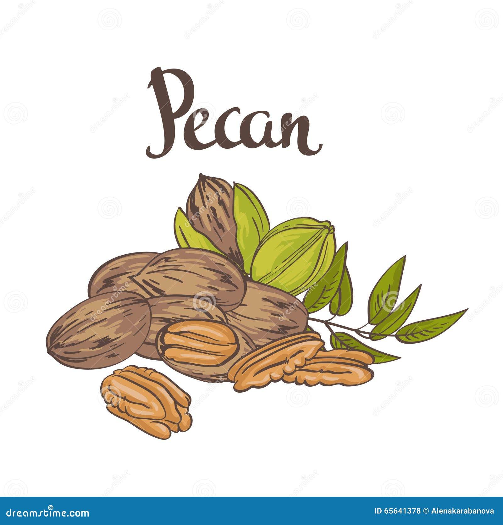 Noix de pécan vertes avec des feuilles et noix de pécan sèches d isolement sur un fond blanc