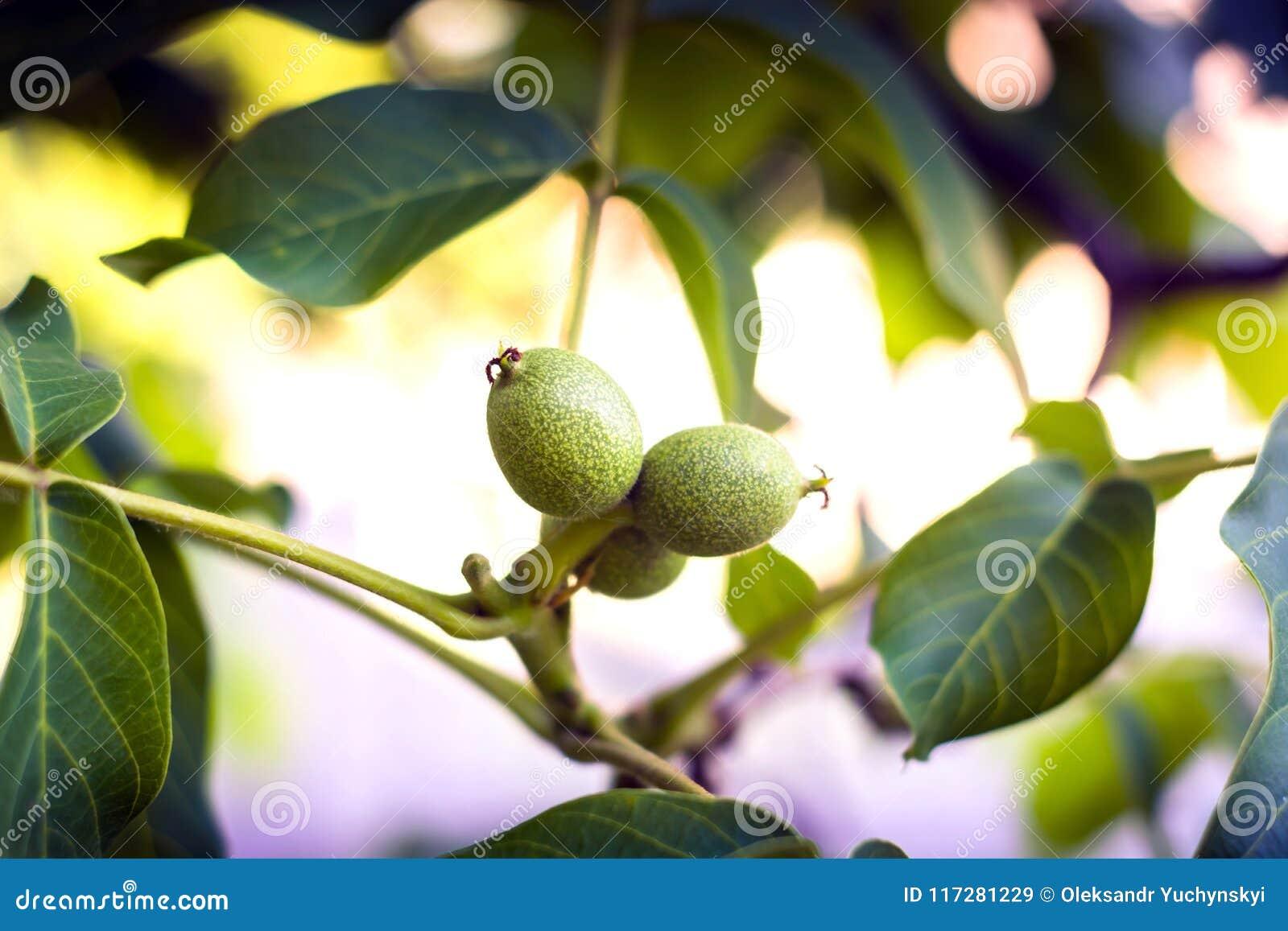 Noix non mûres dans la perspective de jeunes feuilles et raies du soleil