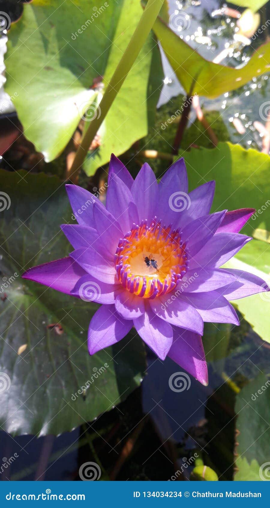 Nollmanel blommor Sri Lanka