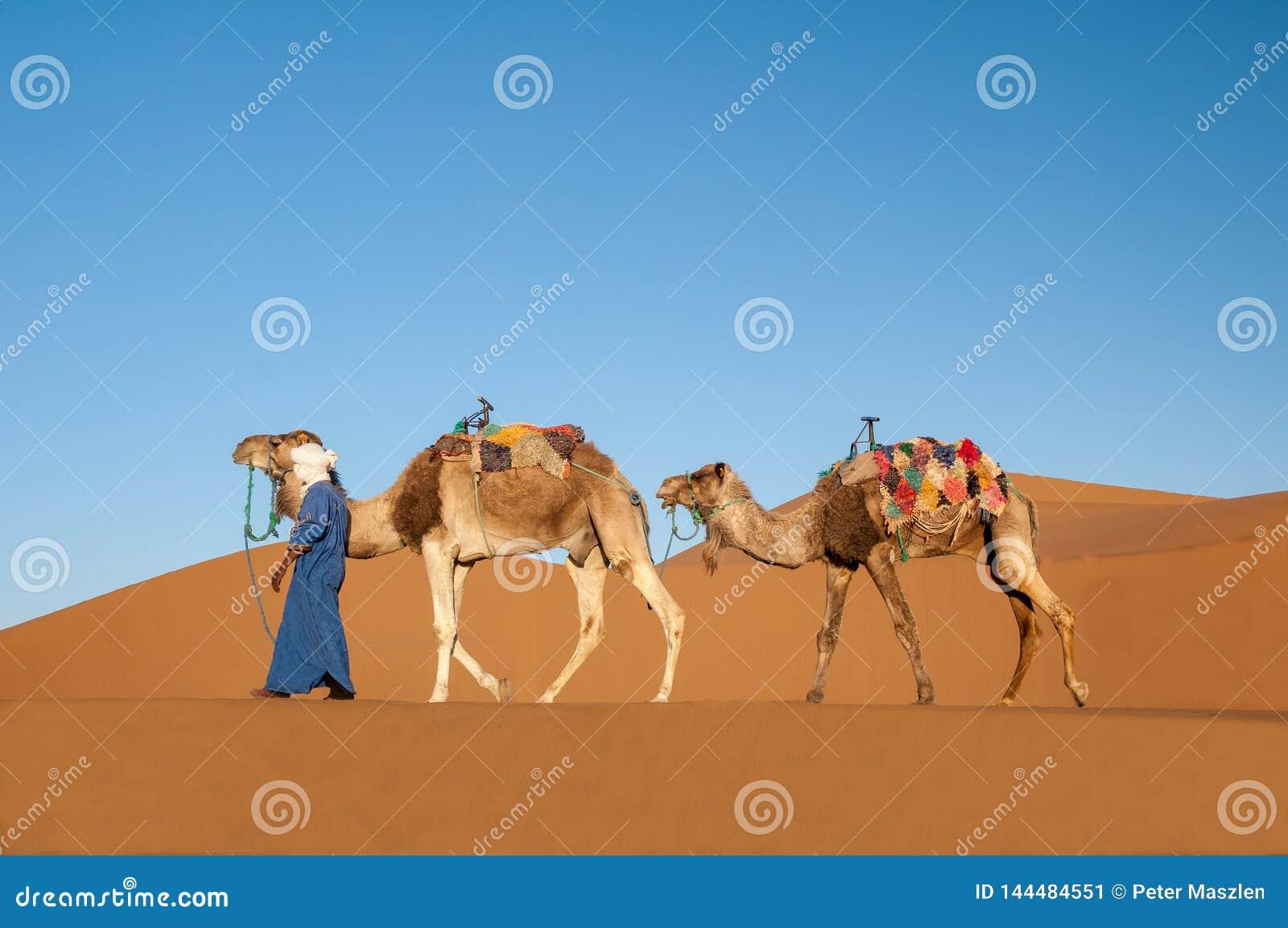 Nomad with dromedary caravan in the Sahara desert