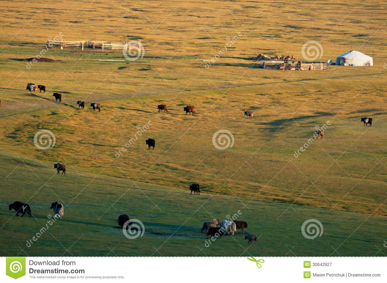 The Nomad House In Mongolia And Livestock Royalty Free