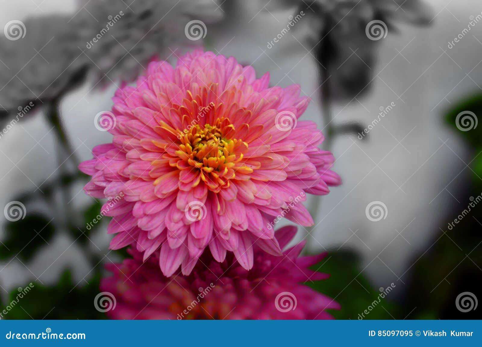 Nombre indio Guldaudi del crisantemo