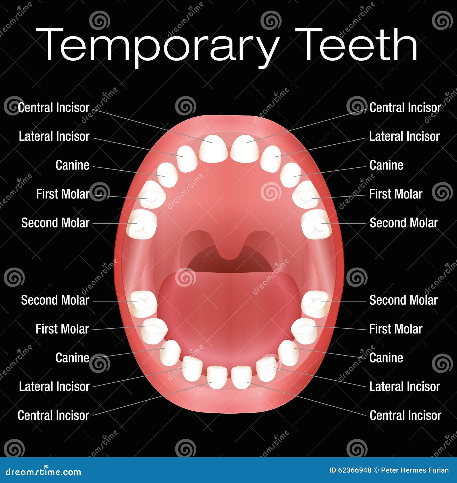 Populares Nomes Dos Dentes Preliminares Ilustração do Vetor - Ilustração de  HQ27