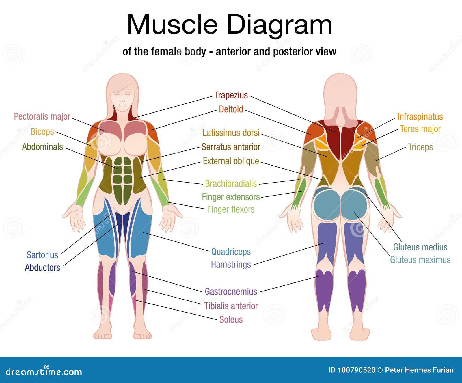 Nomi Dellente Femminile Del Diagramma Del Muscolo Illustrazione