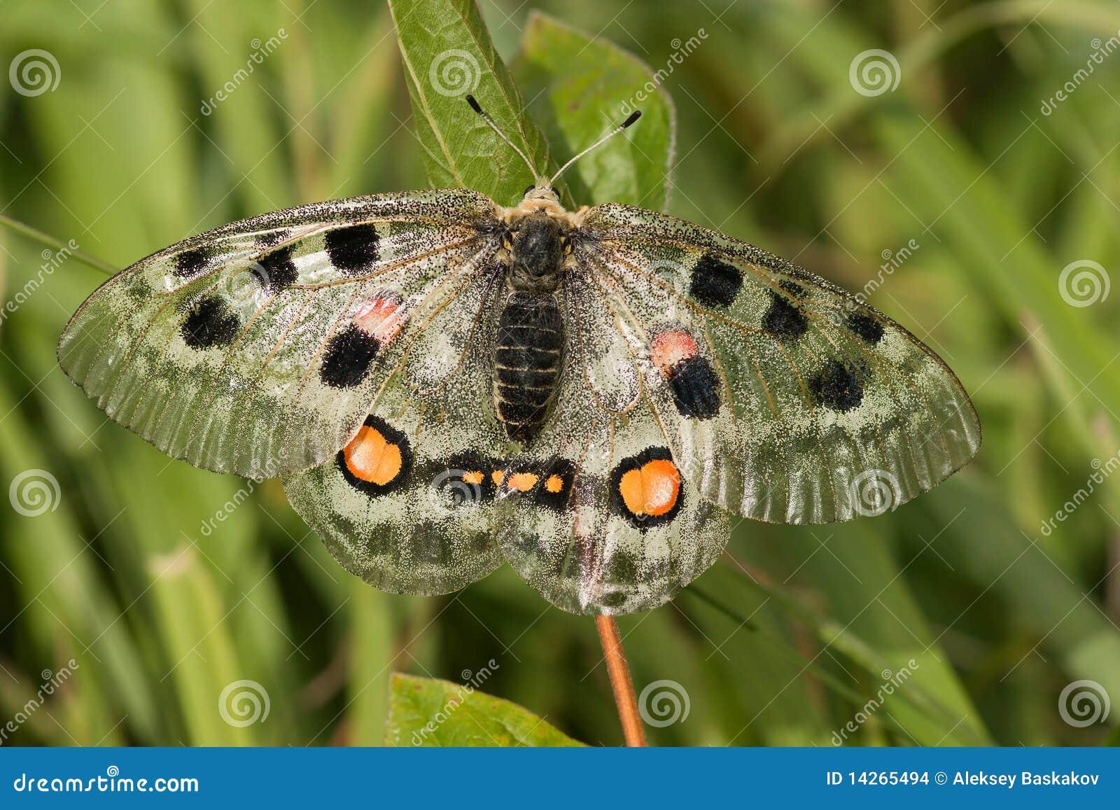 Nomion πεταλούδων