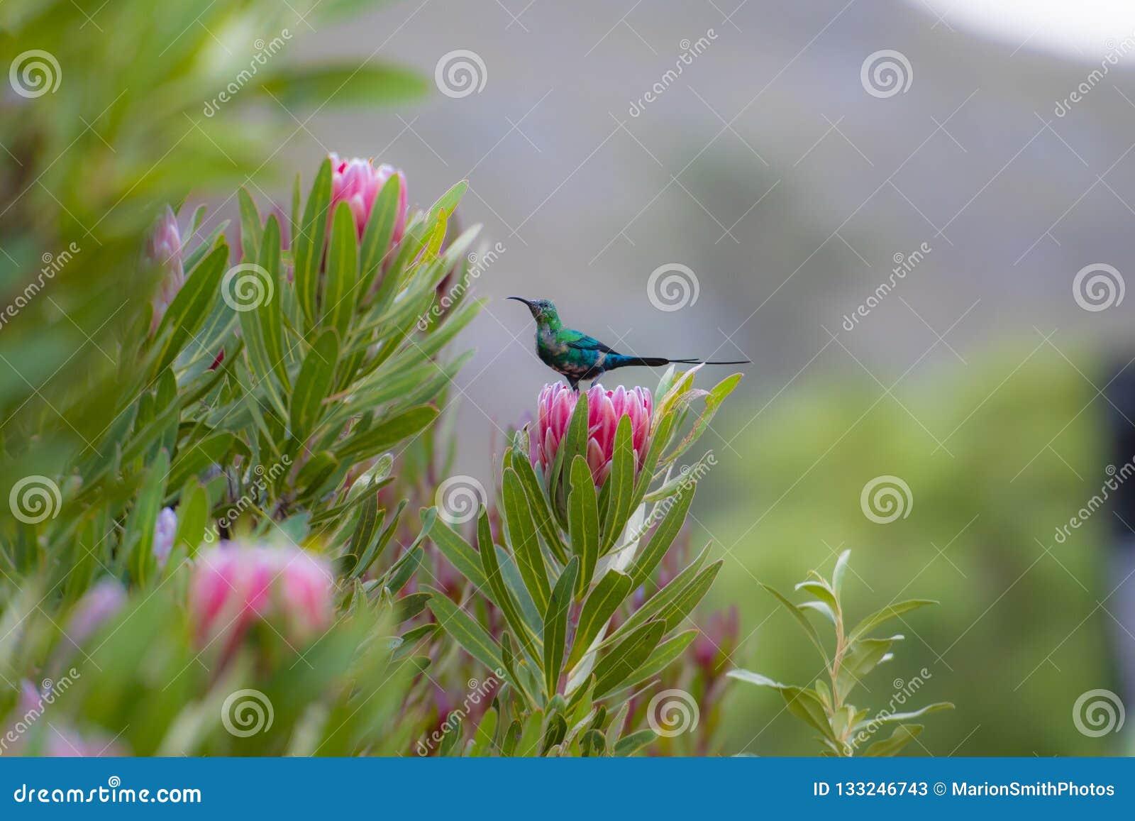 Non breeding malachite sunbird Nectarinia famosa looking left, sitting on pink protea flower