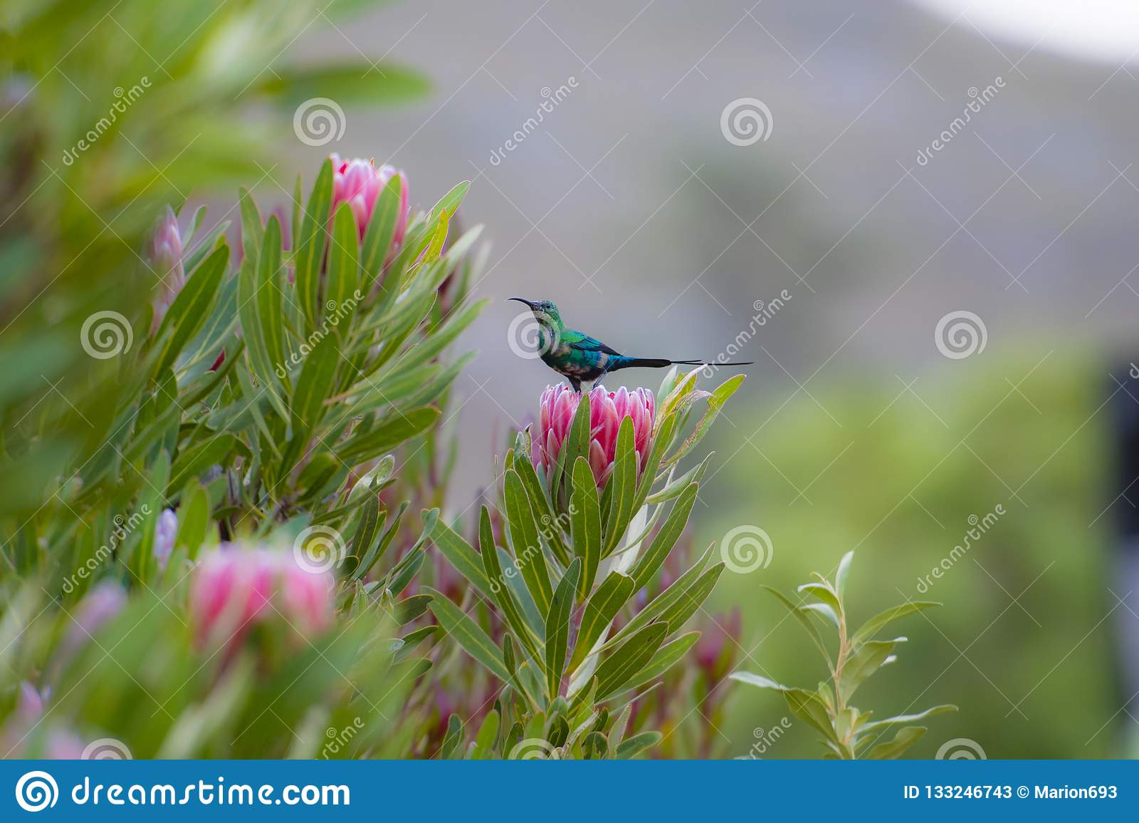 Non multiplication du famosa de Nectarinia de sunbird de malachite regardant la gauche, se reposant sur la fleur rose de protea