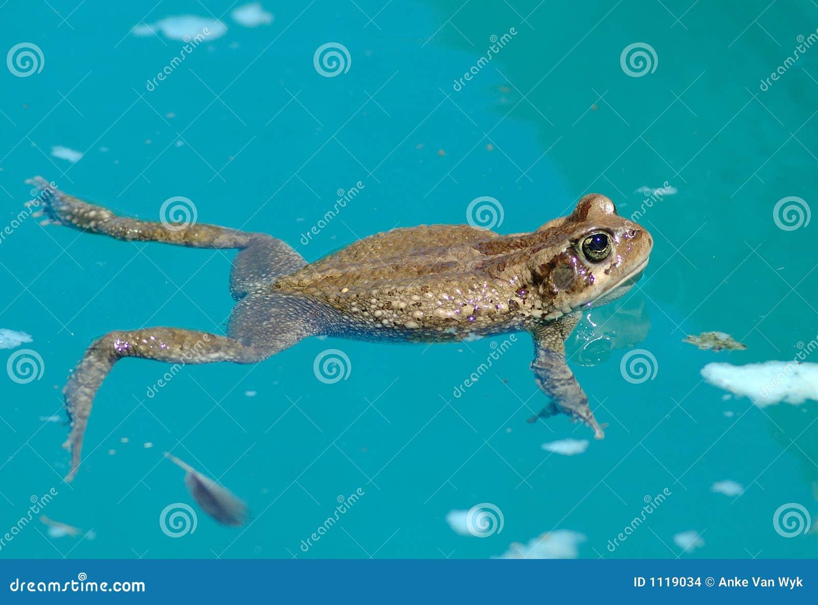 青蛙充分的gewone laevis一点其他户外platanna池爬行动物游泳等待的图片
