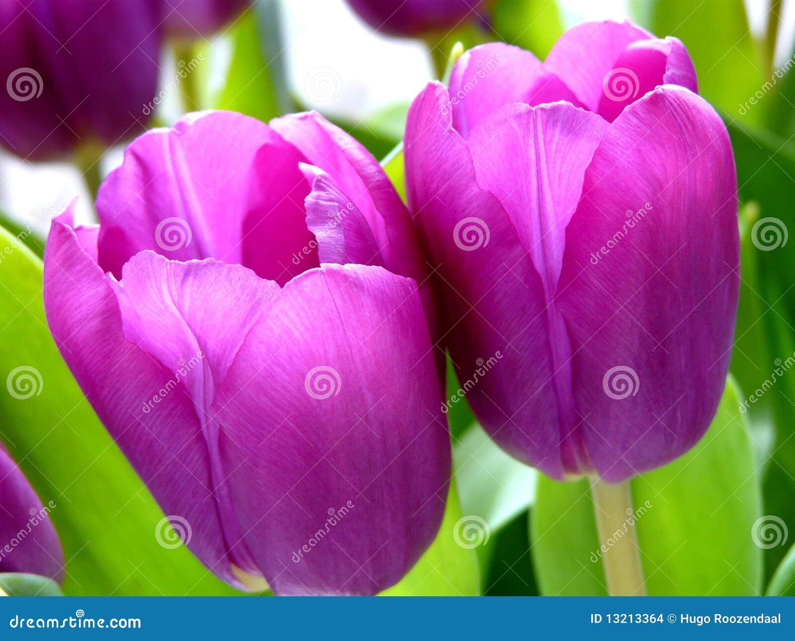 紫色郁金香价格_紫色郁金香