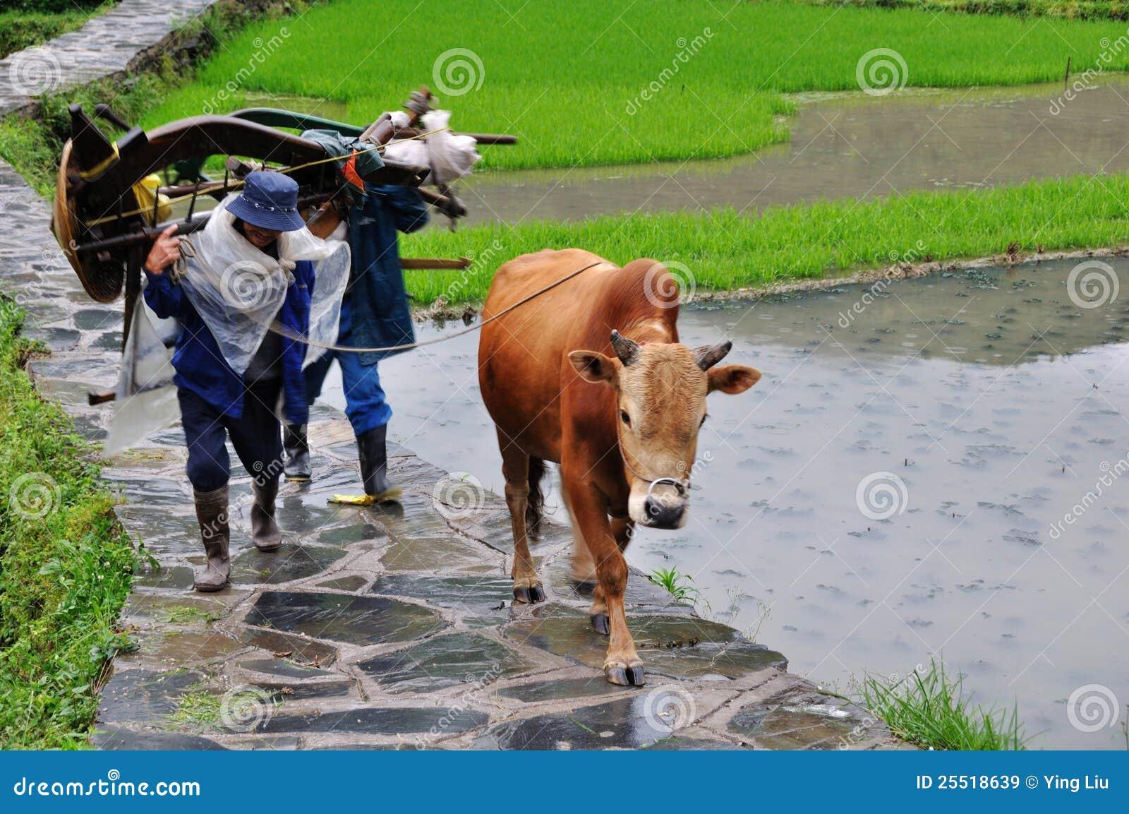 农夫色人和狗_有黄牛的中国农夫