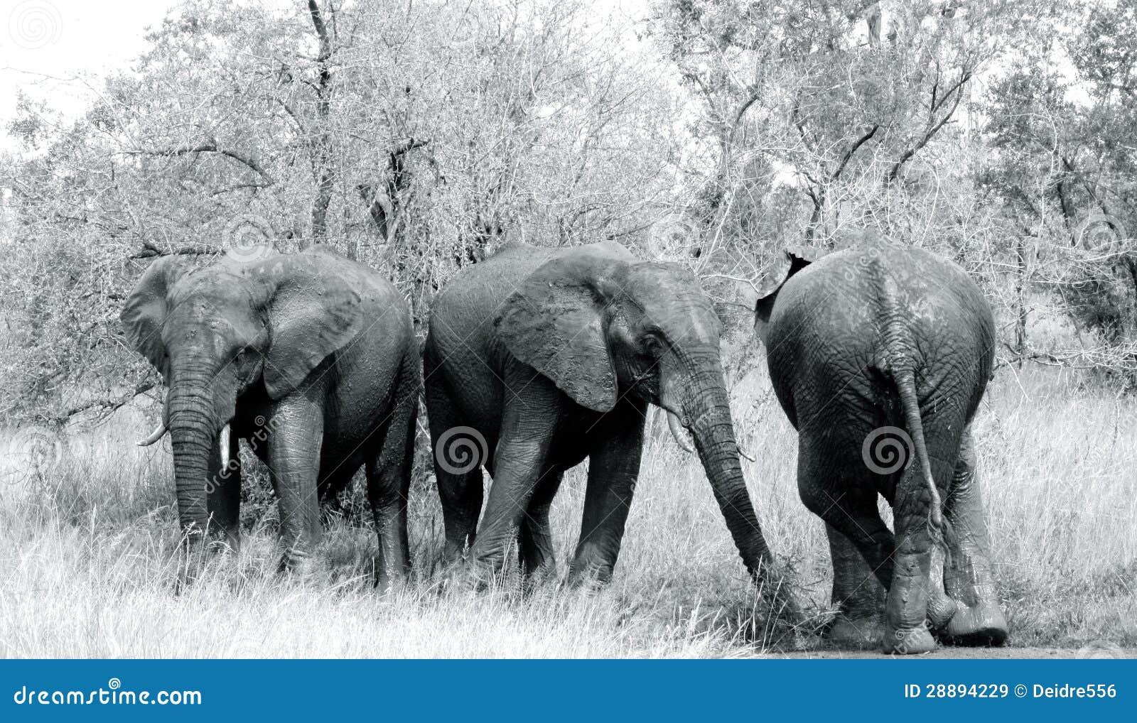 大象tusker野生生物黑白非洲大象.图片