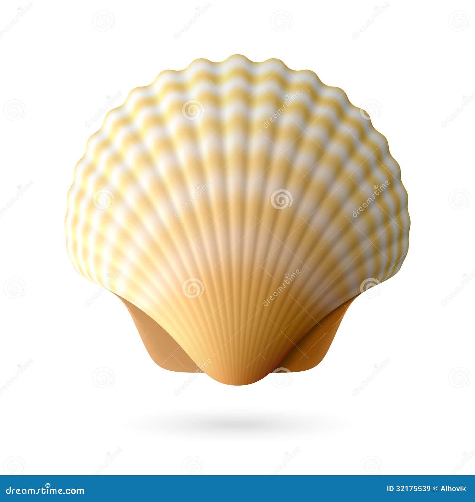 扇贝贝壳图片
