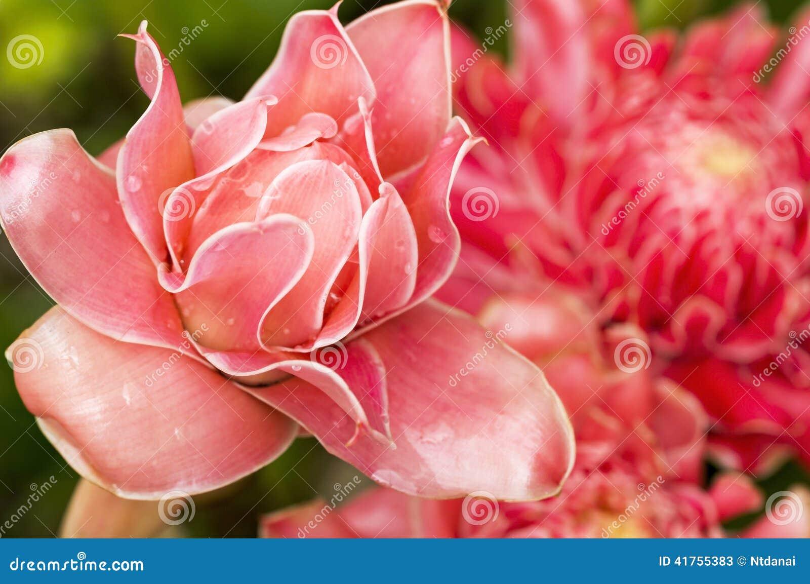 Имбирь  цветы