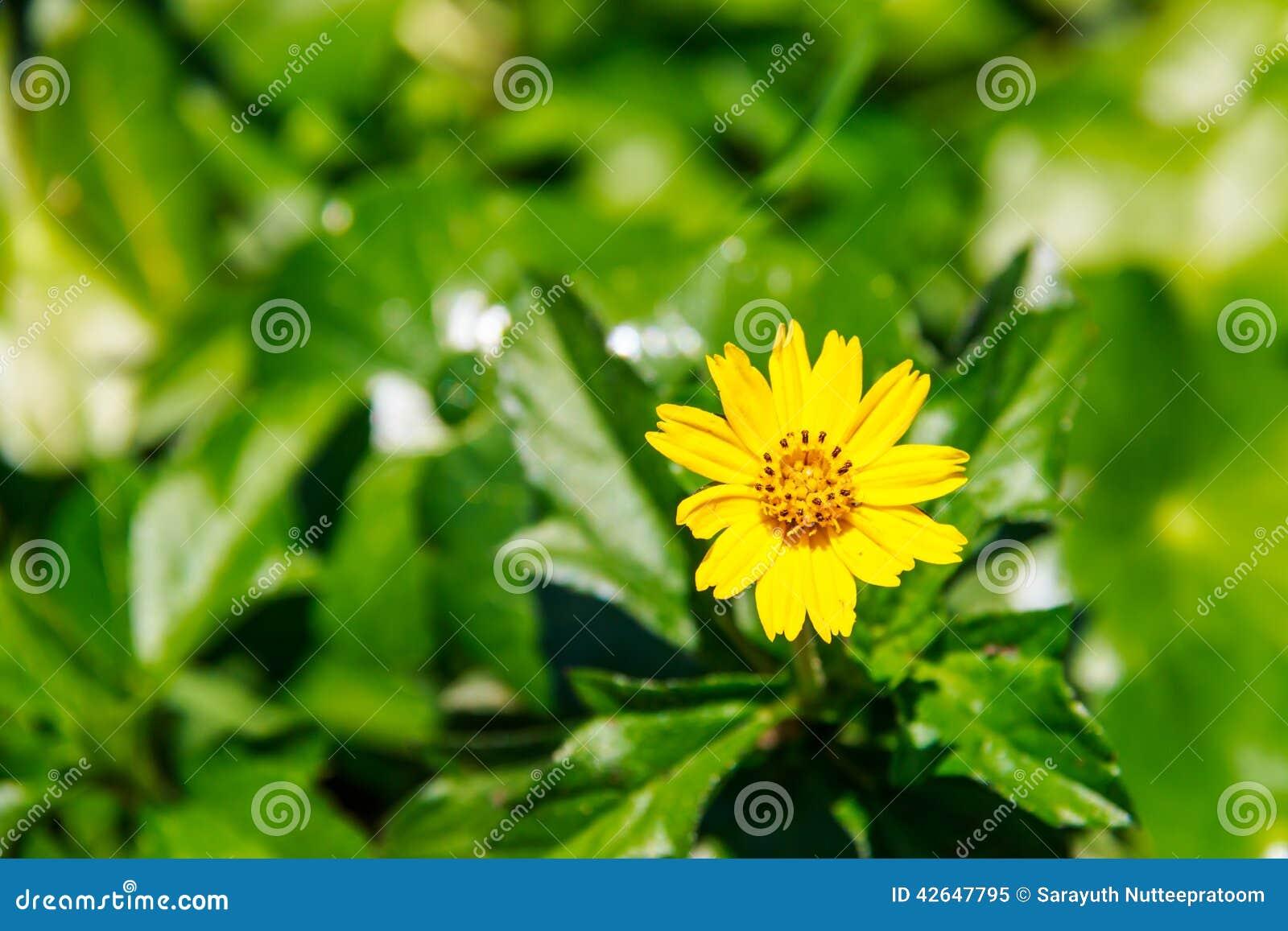 小黃色春天開花背景,特寫鏡頭.圖片